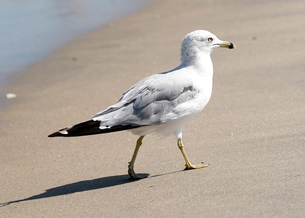 man-bites-seagull.jpg?quality=80&strip=a