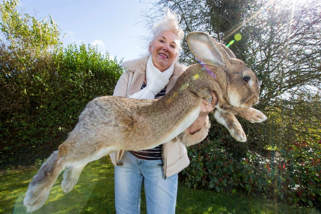 Annette Edwards with Darius, who is the world's largest bunny at 4ft 4inches long.